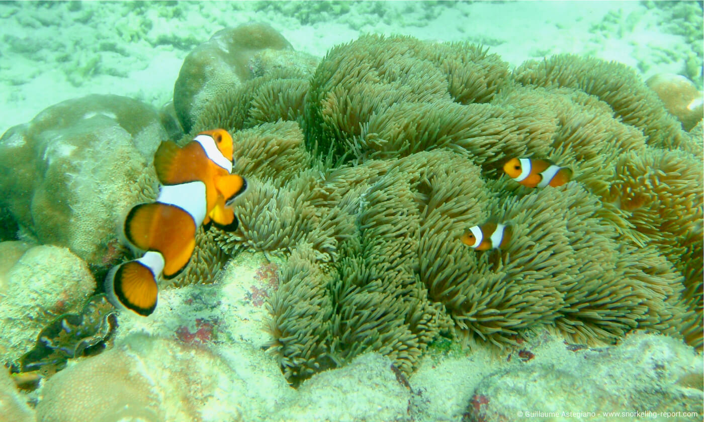 Ocellaris clownfish at Bamboo Island