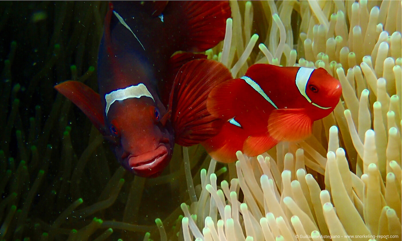 Spinecheek anemonefish in Siladen