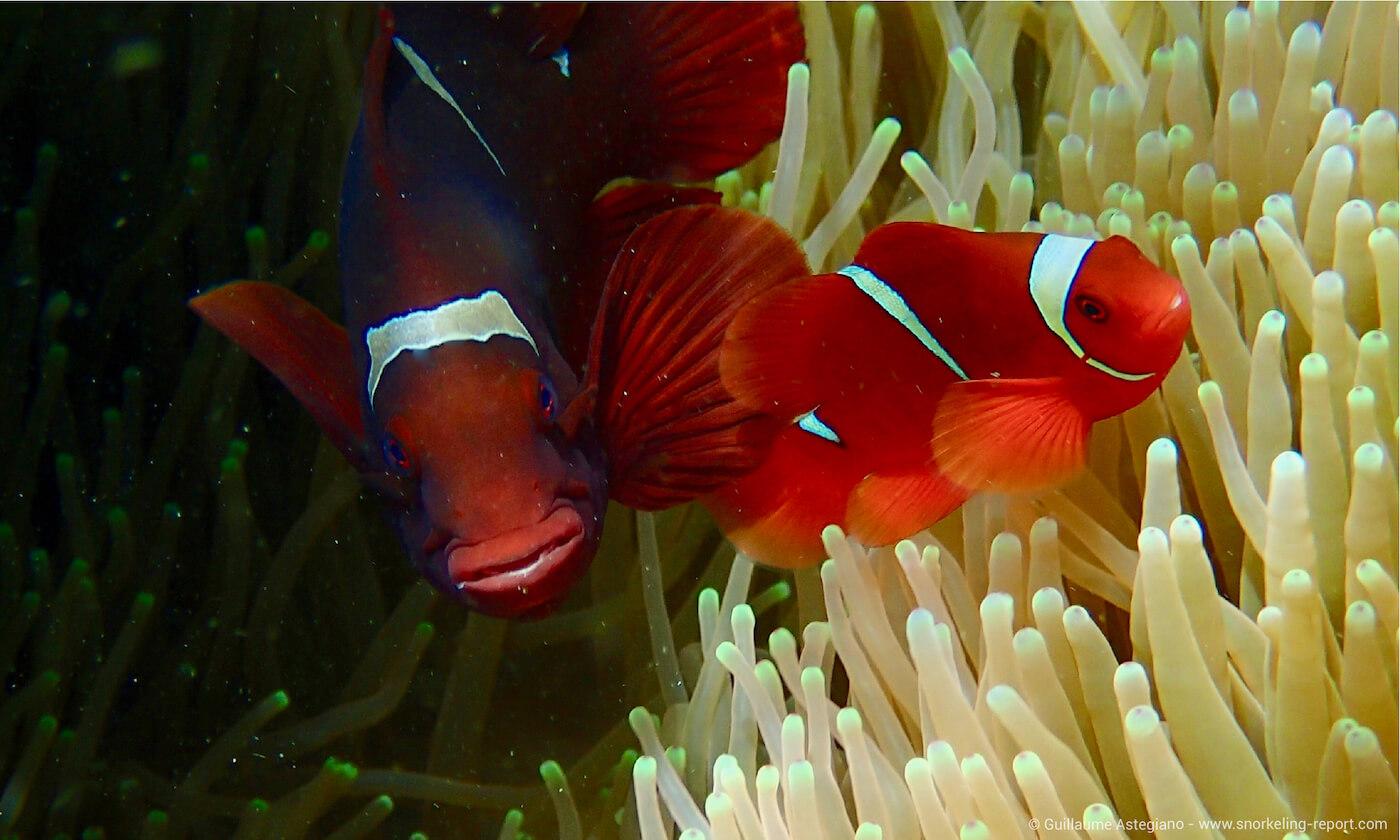 Spinecheek anemonefish in Siladen