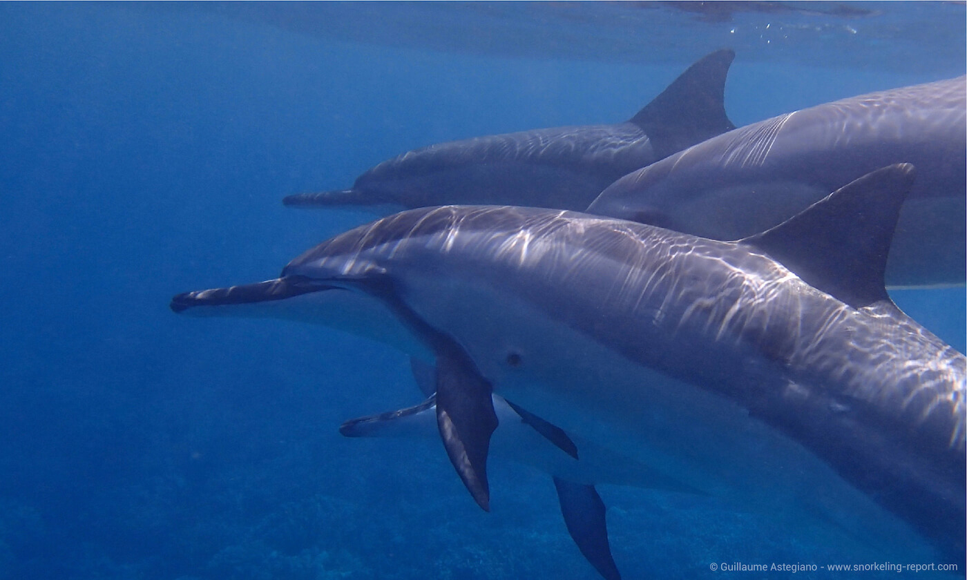Pod of spinner dolphins at Two Step, Hawaii