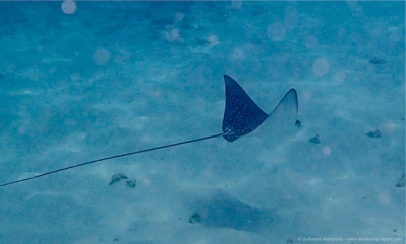 Spotted eagle ray in Felicite, Seychelles