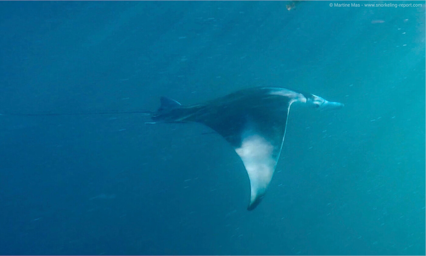 Manta ray in St Anne, Seychelles