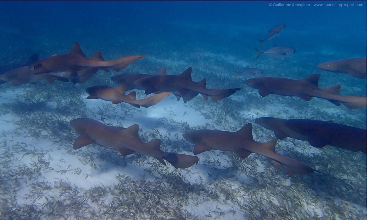 Nurse sharks in Shark Ray Alley