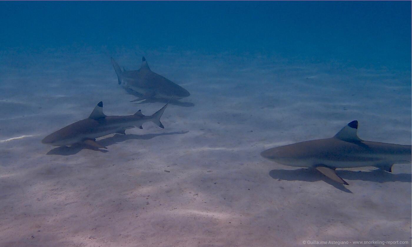 Blacktip sharks at the Shark Sandbank, Moorea