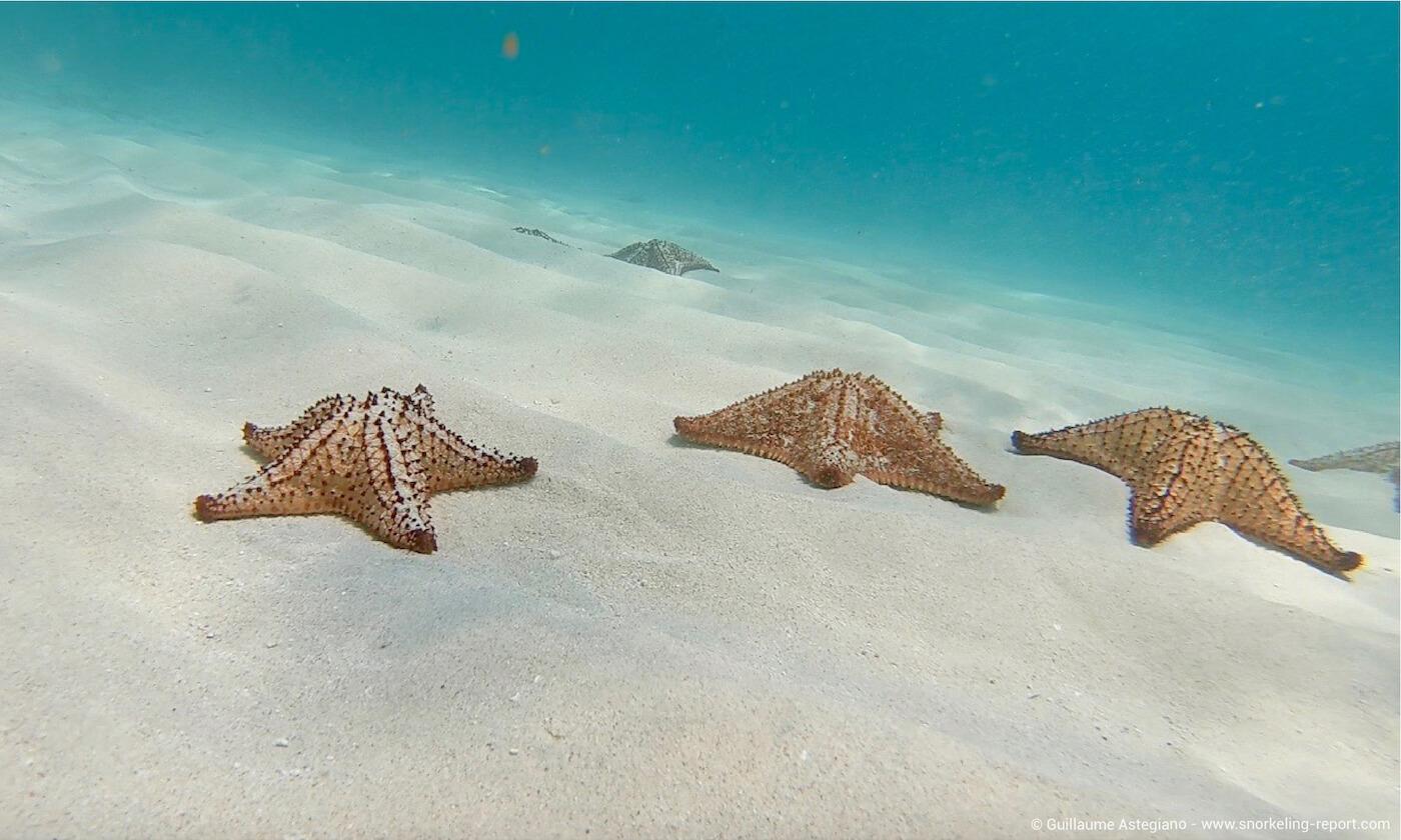 Sea stars in Aruba