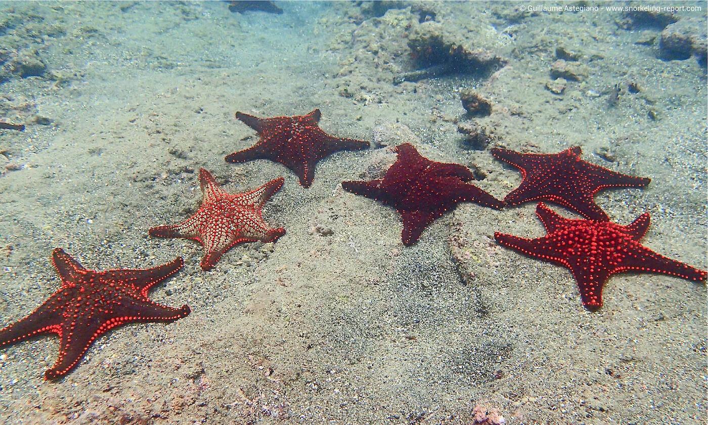 Cushion sea stars in Bartolome Island