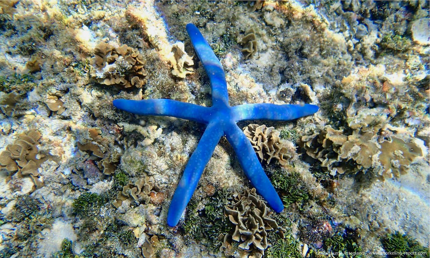 Blue Sea Star in Guam