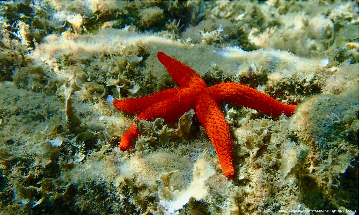 Red starfish in South France