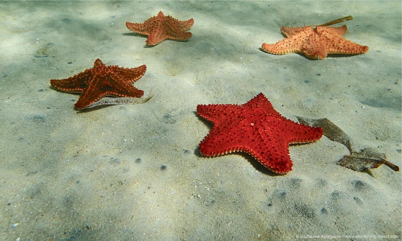 Cushion starfish in Roatan