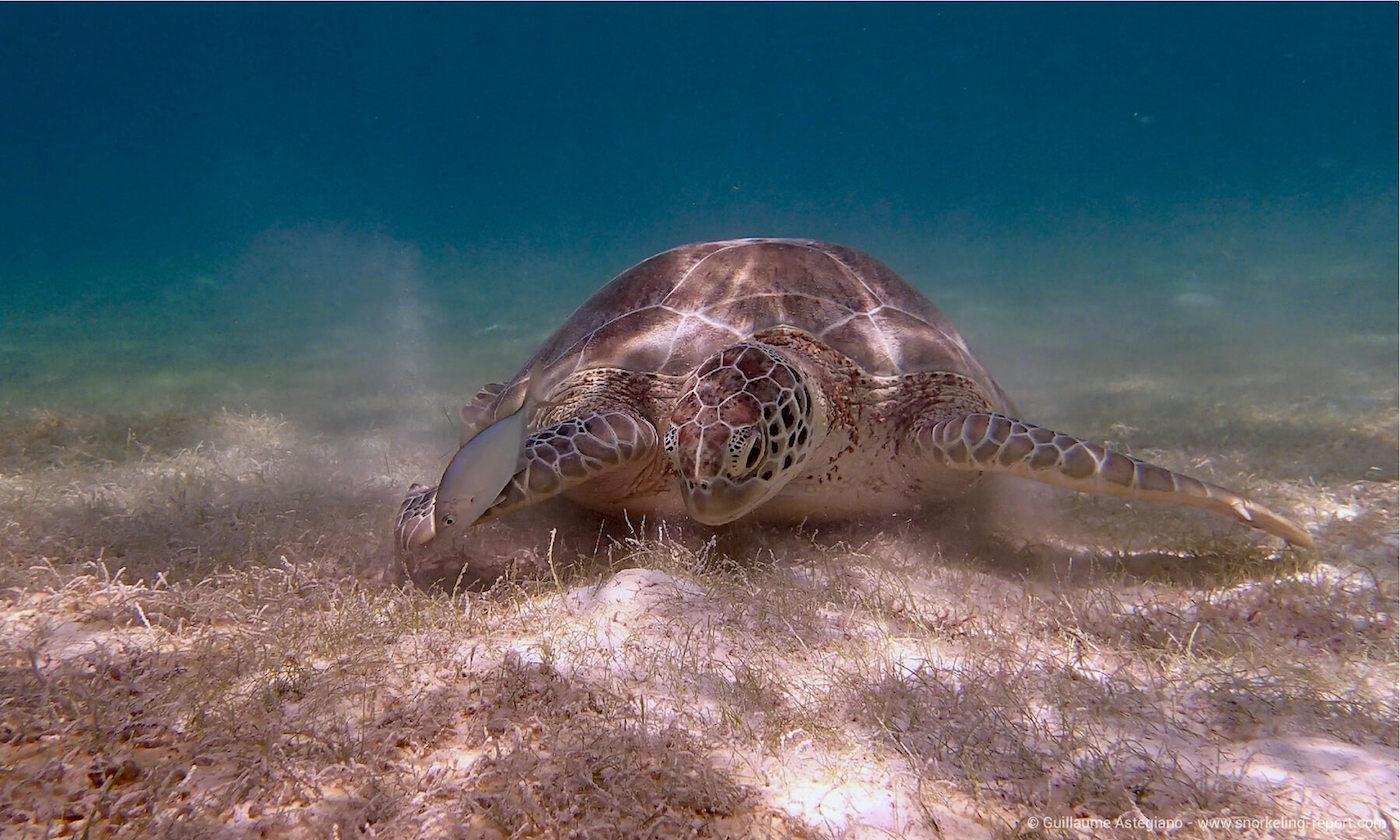 Green sea turtle in Akumal Bay, Mexico