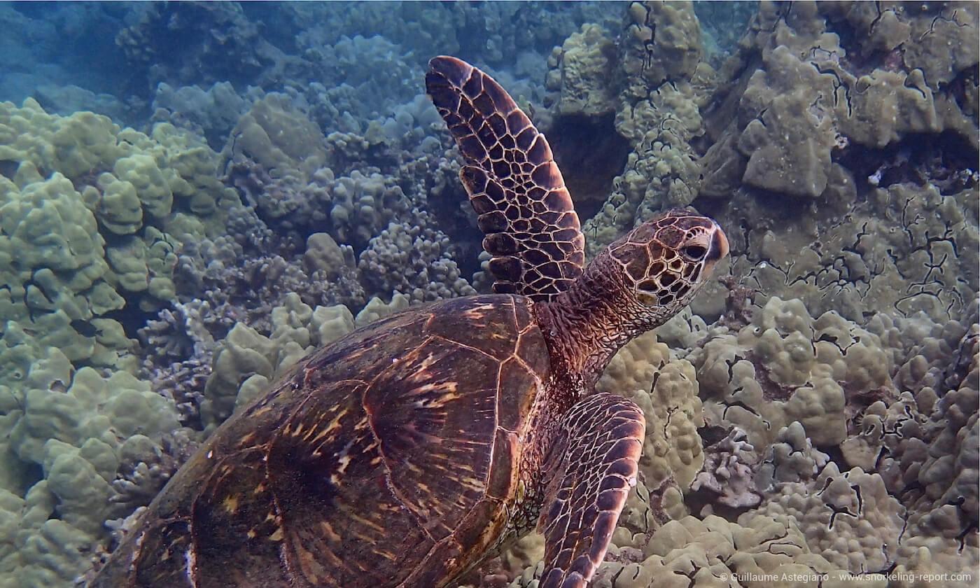 Green sea turtle in Turtle Town, Maui