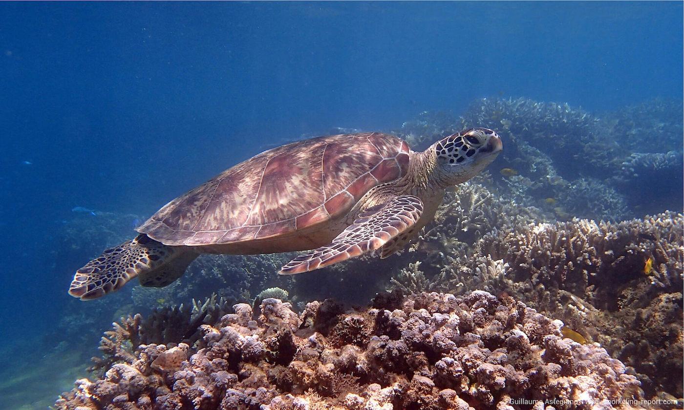 Green sea turtle at NGouja Beach drop off