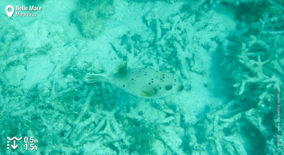 Blackspotted puffer in Belle Mare