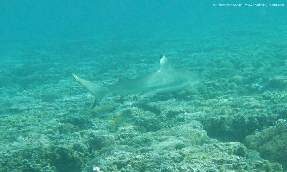 Blacktip reef shark in Lady Elliot Island