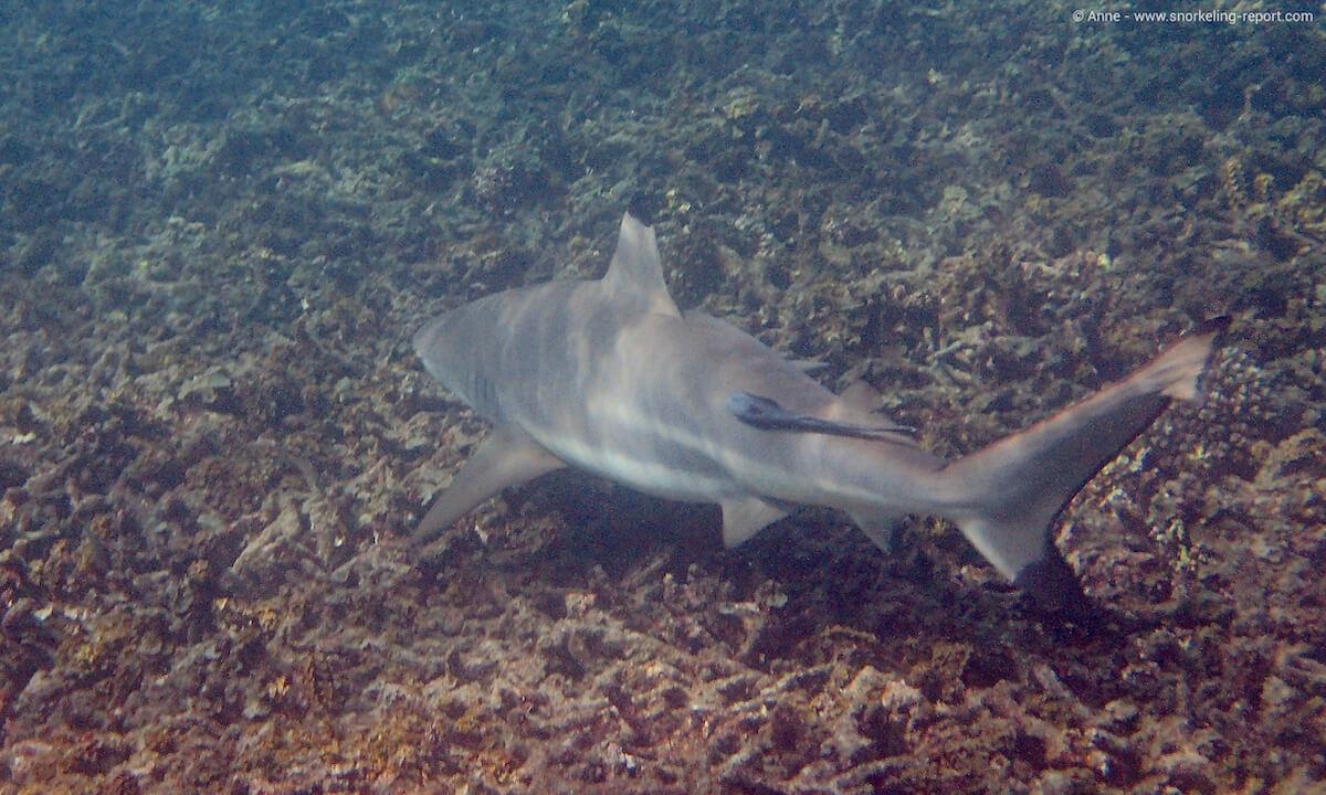 Blacktip shark in Shark Bay, Thailand