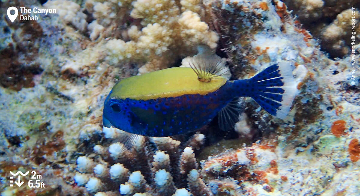 Bluetail trunkfish