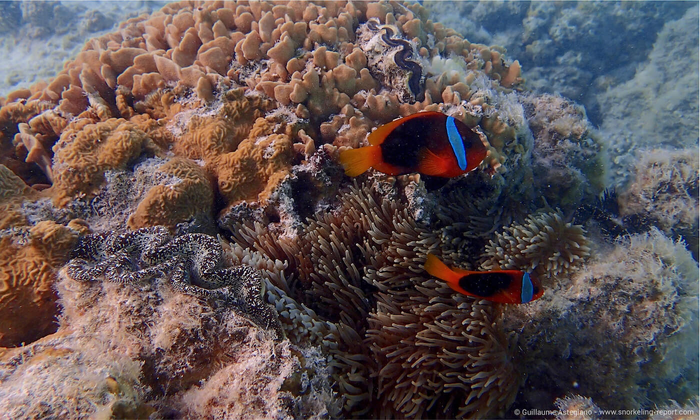 Tomato clownfish in Oro Bay