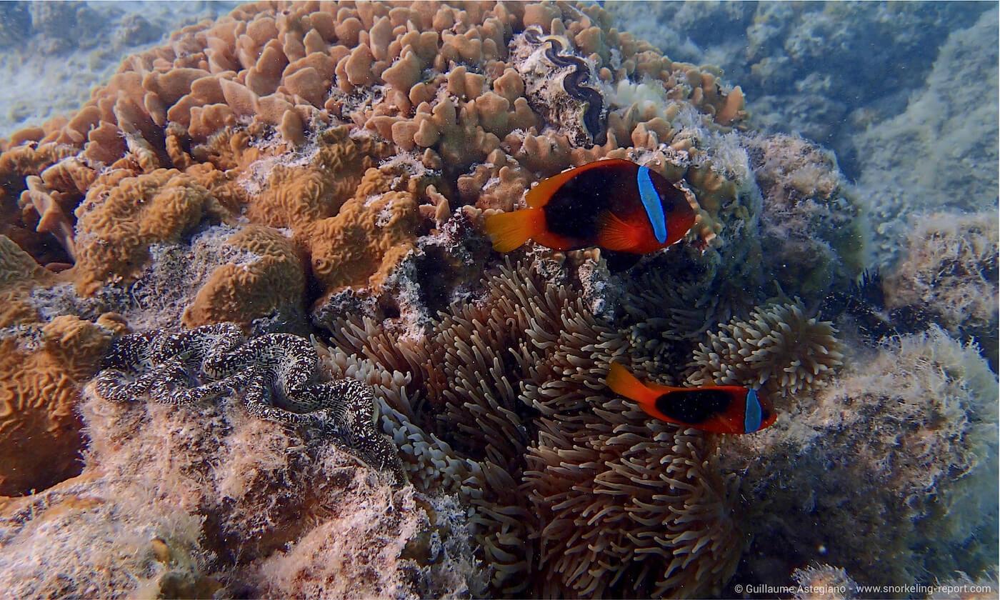 Tomato clownfish in Oro Bay