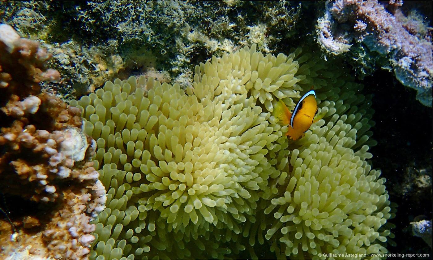 Clownfish at Sofitel Moorea