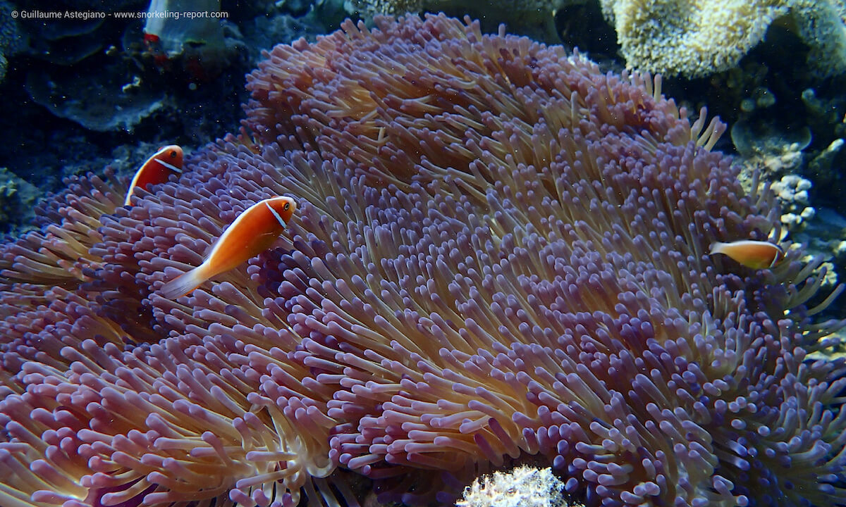 Clownfish at Opal Reef