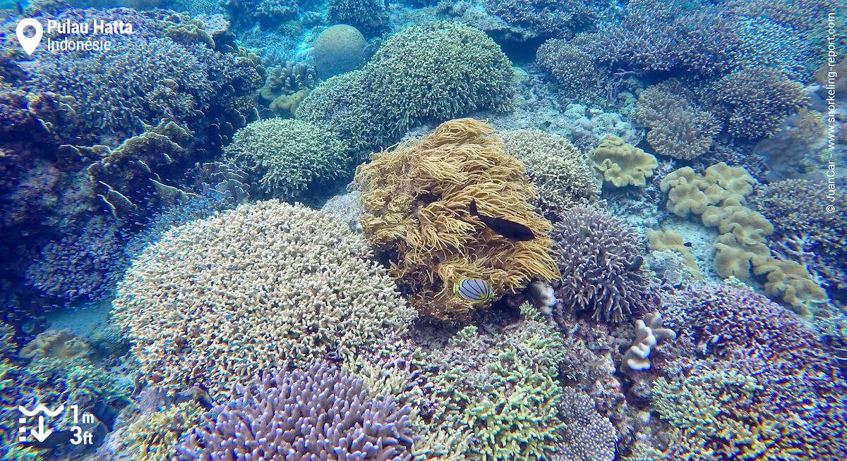 Couverture de coraux mous à Pulau Hatta