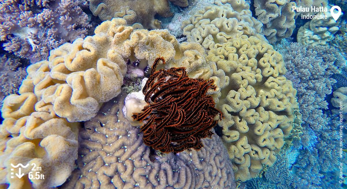 Crinoide au milieu du corail à Pulau Hatta