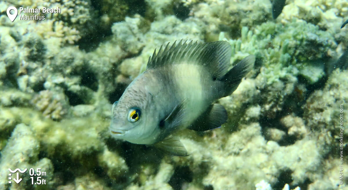 Dusky farmerfish