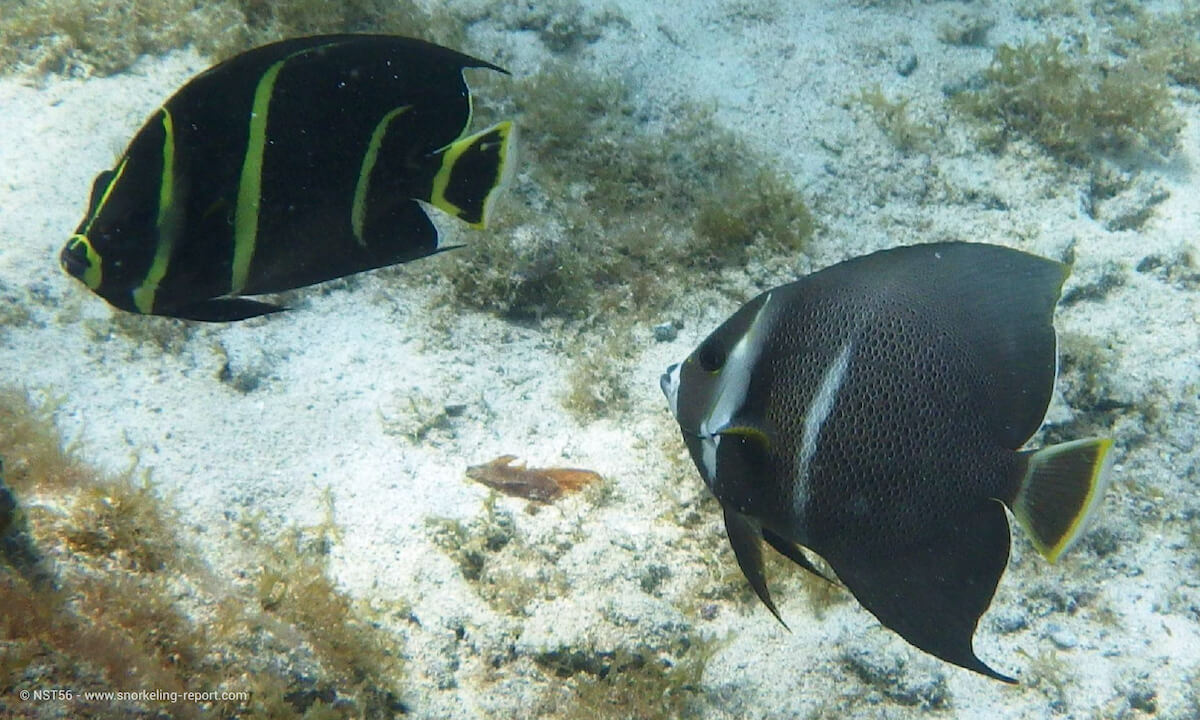 French and Gray angelfish in Caneel Bay