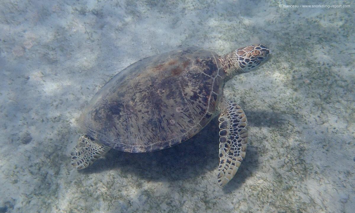 Green sea turtle in Pandan Island, Philippines