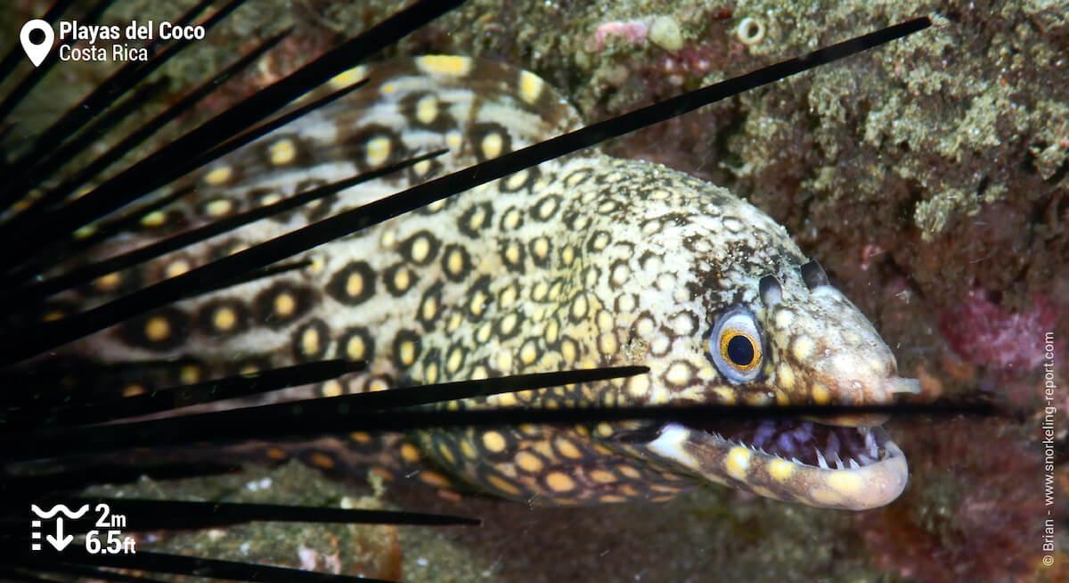 Jewel moray at Playas del Coco