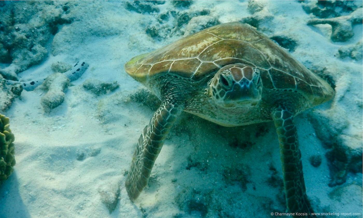 Green sea turtle resting on Lady Elliot Island reef flat