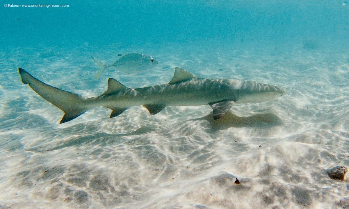 Lemon shark in Petite Terre, Guadeloupe