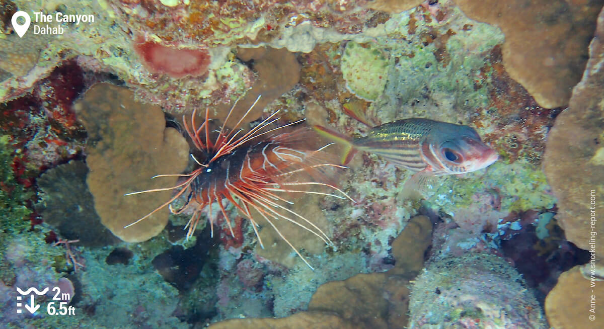 Lionfish and squirrelfish
