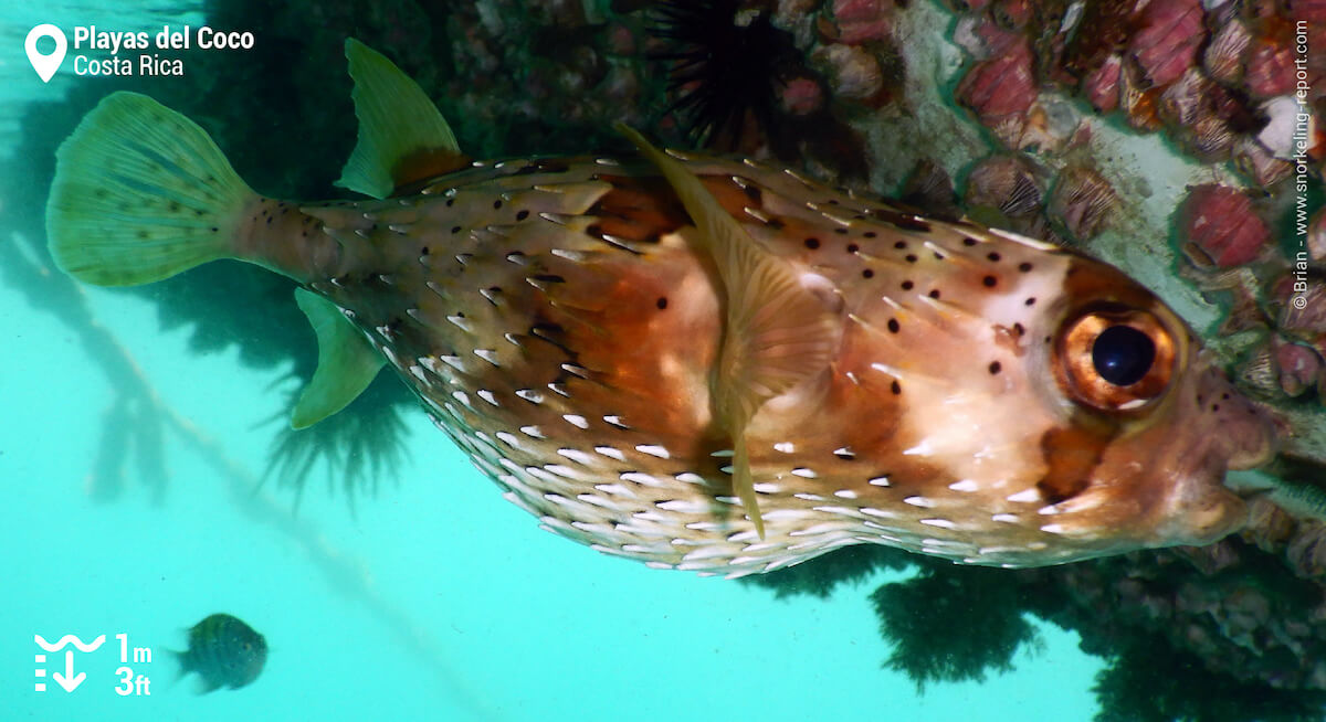 Longspine porcupinefish in Playas del Coco