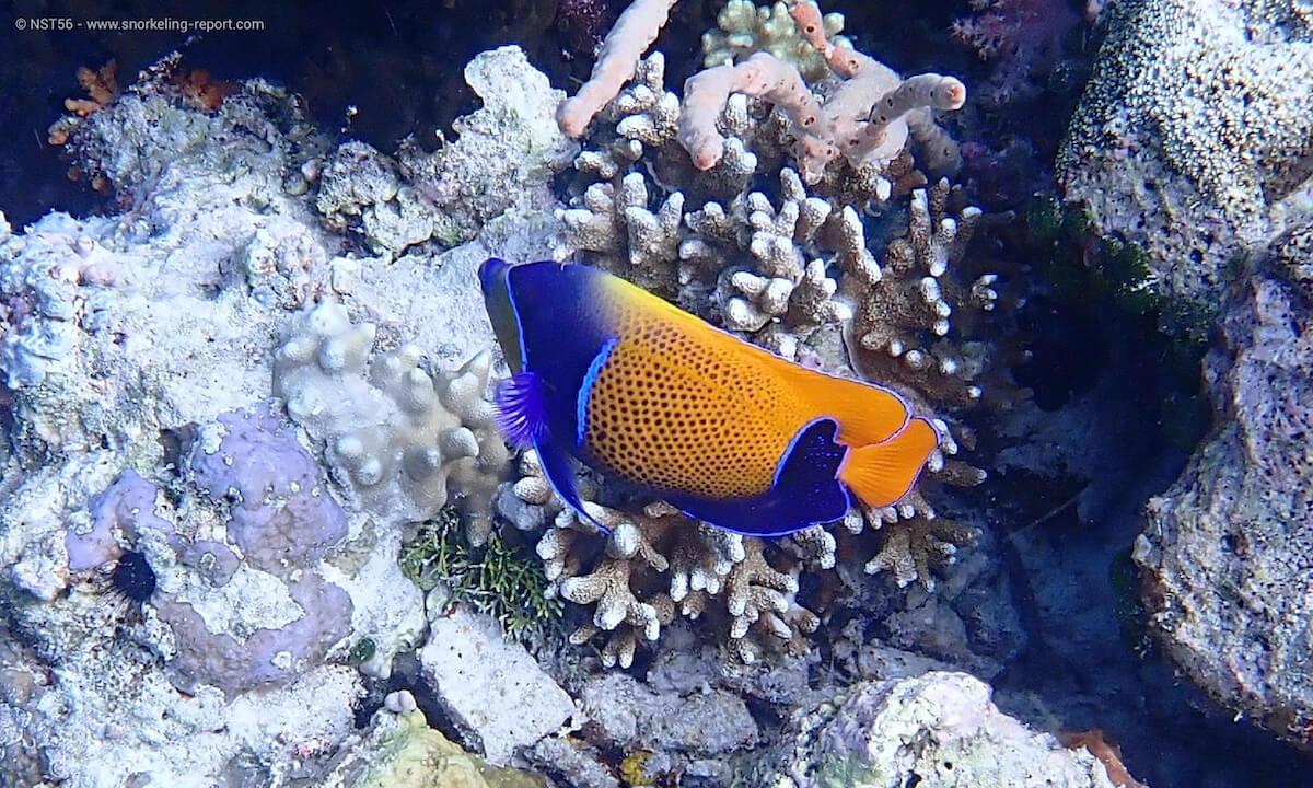 Majestic angelfish in Wakatobi