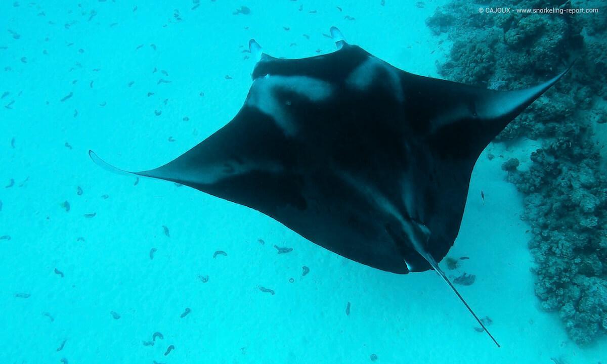 Manta ray in Maupiti