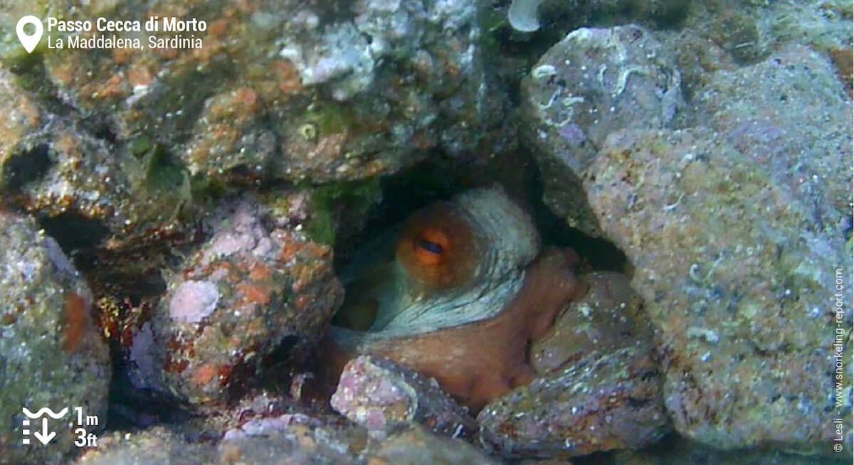 Octopus in La Maddalena