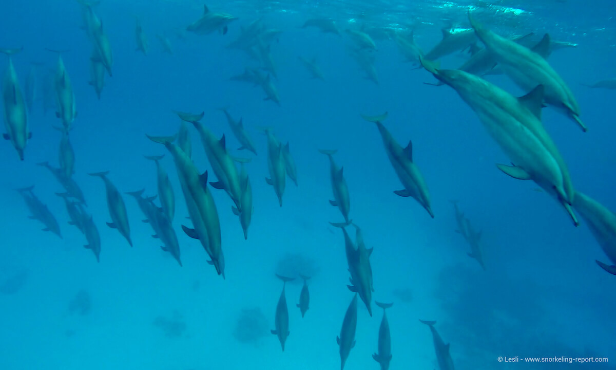 Pod of spinner dolphins at Samadai Reef, Egypt