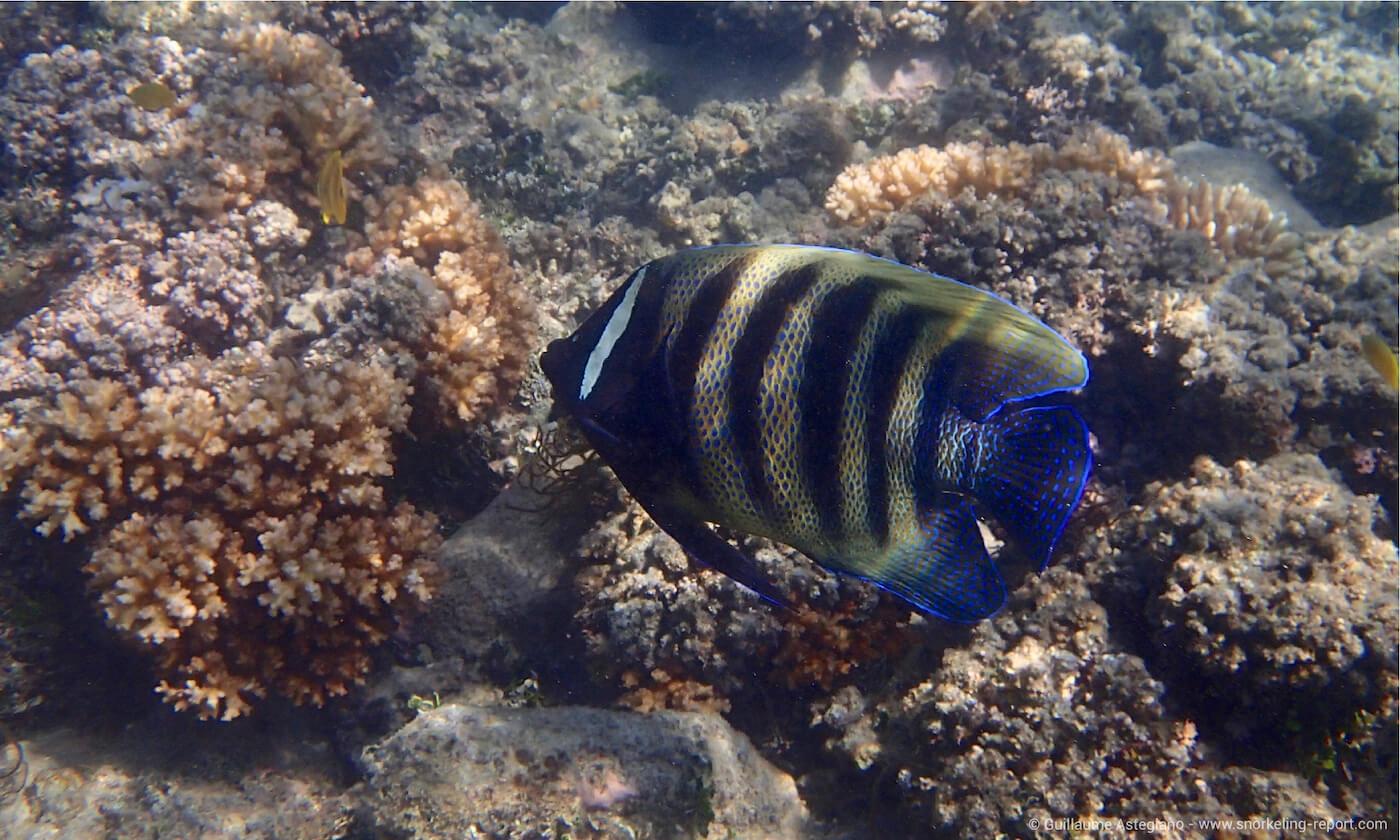 Sixbar angelfish in Green Island