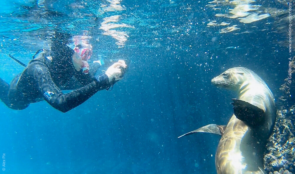 Snorkeler taking picture of a sea lion in the Galapagos Islands