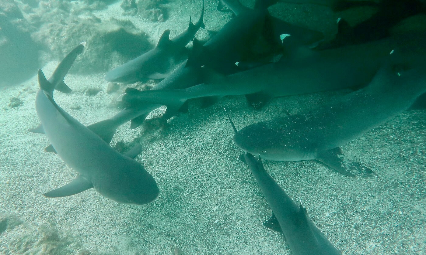 Whitetip sharks in Los Tuneles, Galapagos