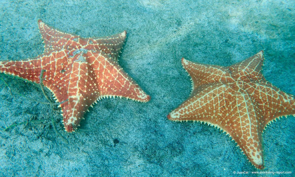 Starfish in Playa Estrella, Panama