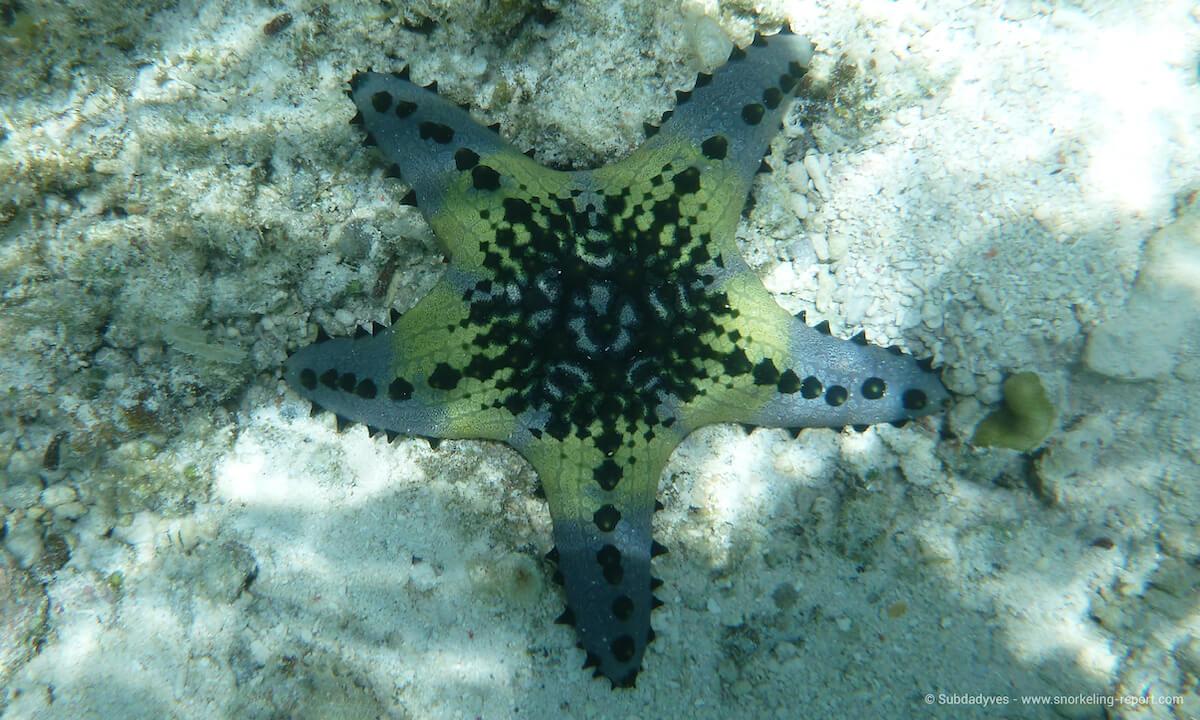 Horned sea star in Moalboal