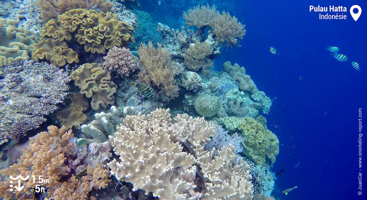 Le tombant récifal de Pulau Hatta