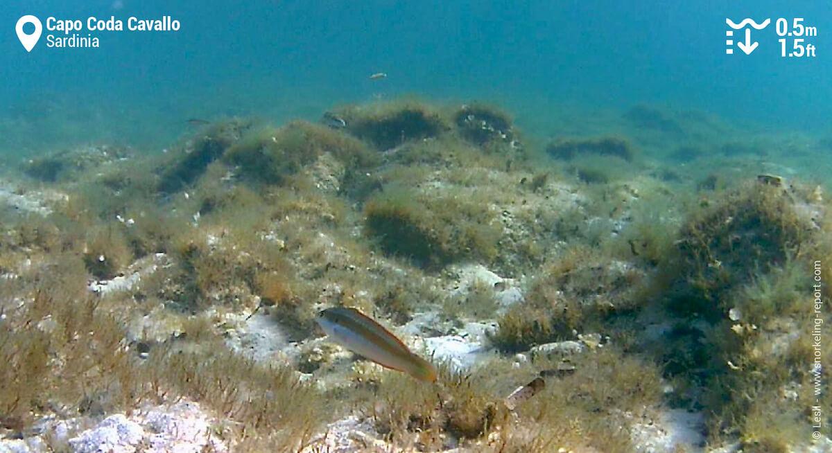 Snorkeling Capo Coda Cavallo
