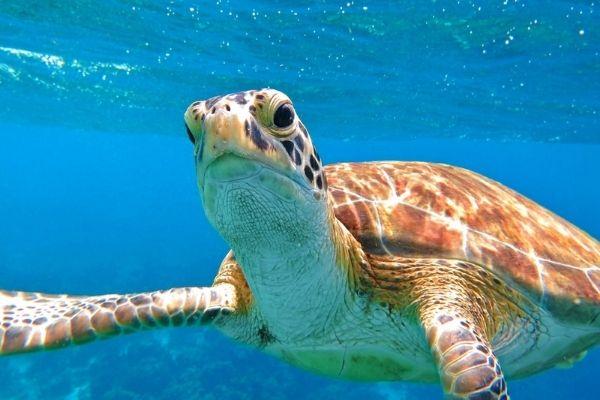 Turtule in Bahamas