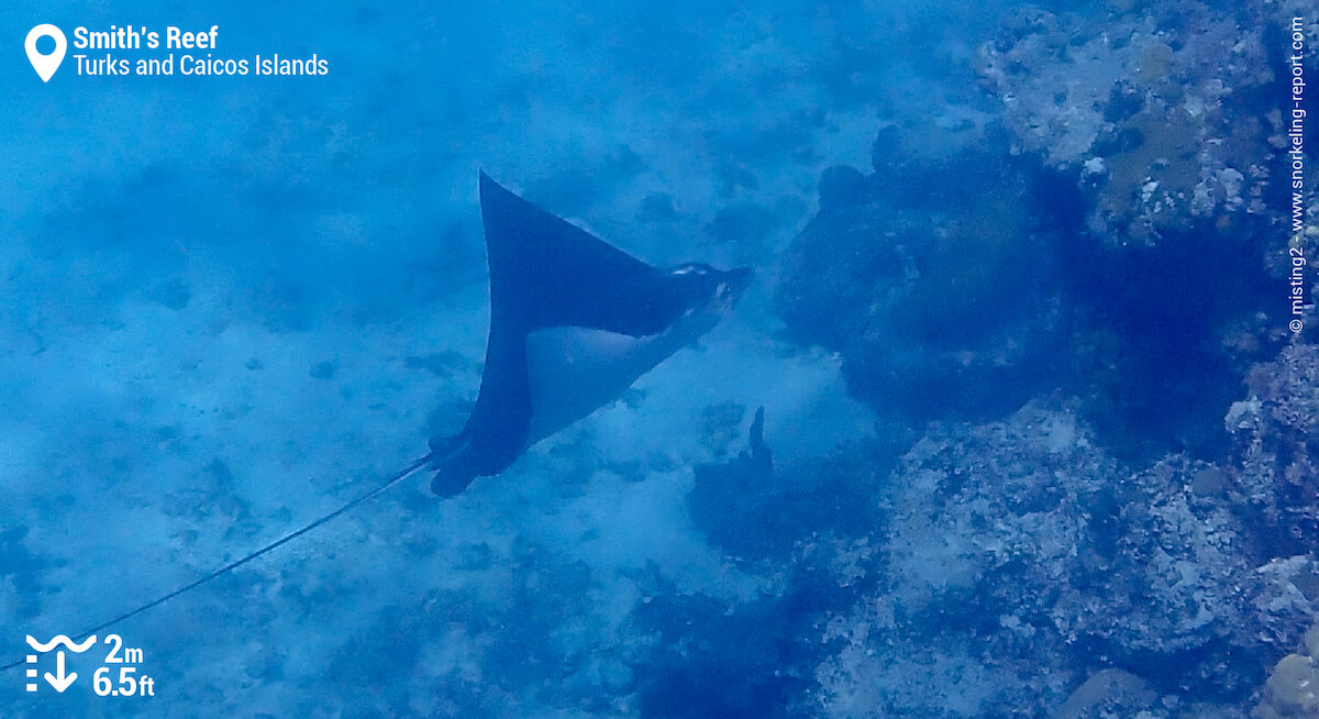 Atlantic spotted eagle ray at Smith's Reef
