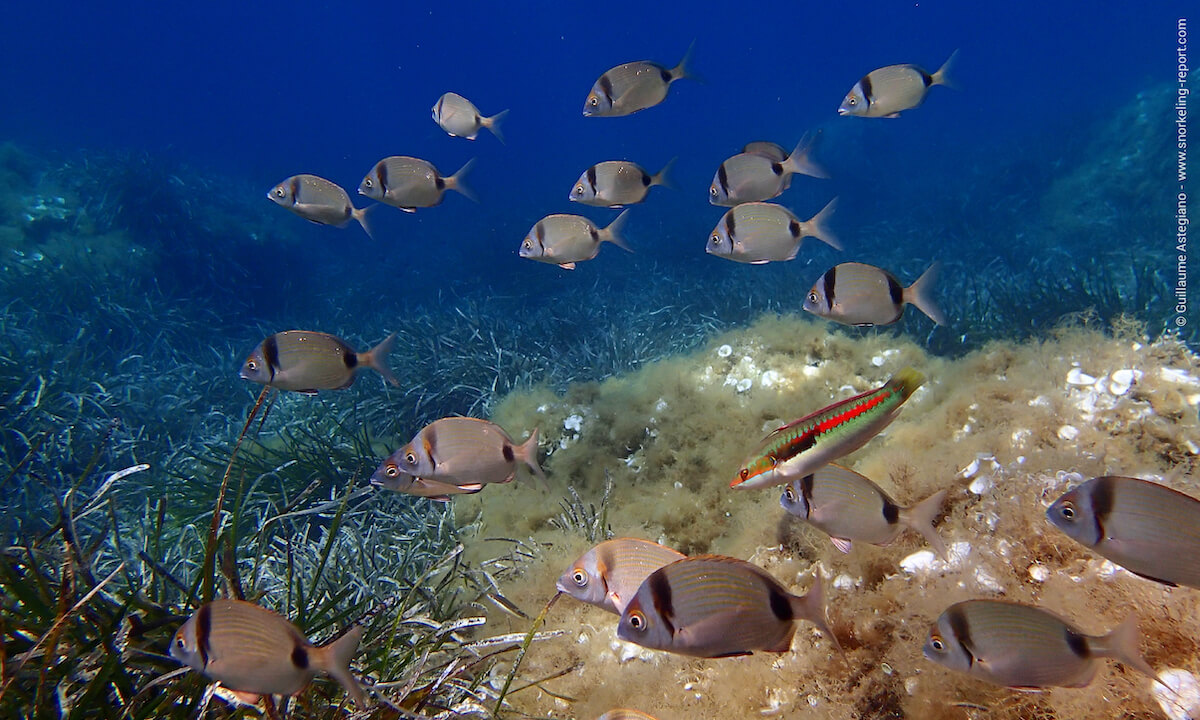 Colorful fish in Port Cros National Park
