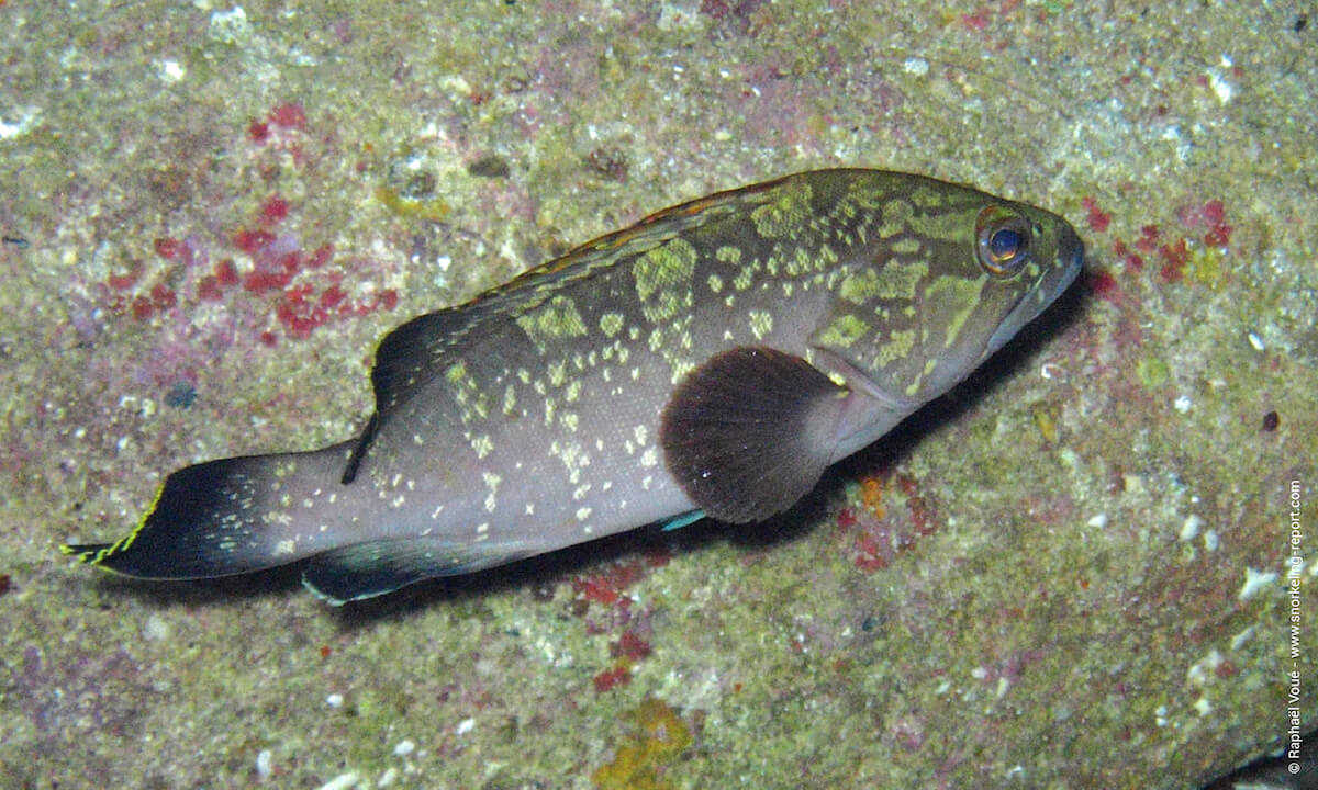 Dusky grouper in Cala Rossa