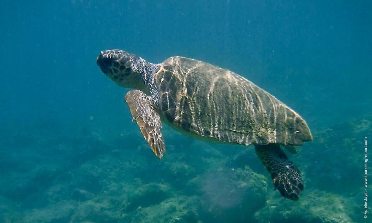 Loggerhead sea turtle in Cameo Island